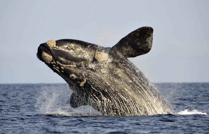 Temporada de ballenas en las costas del Uruguay