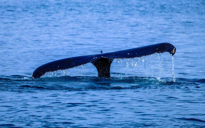 Comenzó la temporada de avisaje de ballenas en Punta del Este